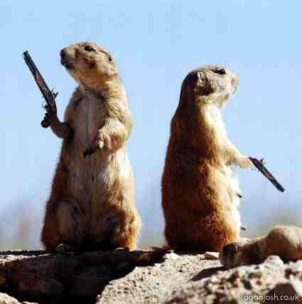 Duello tra due marmotte